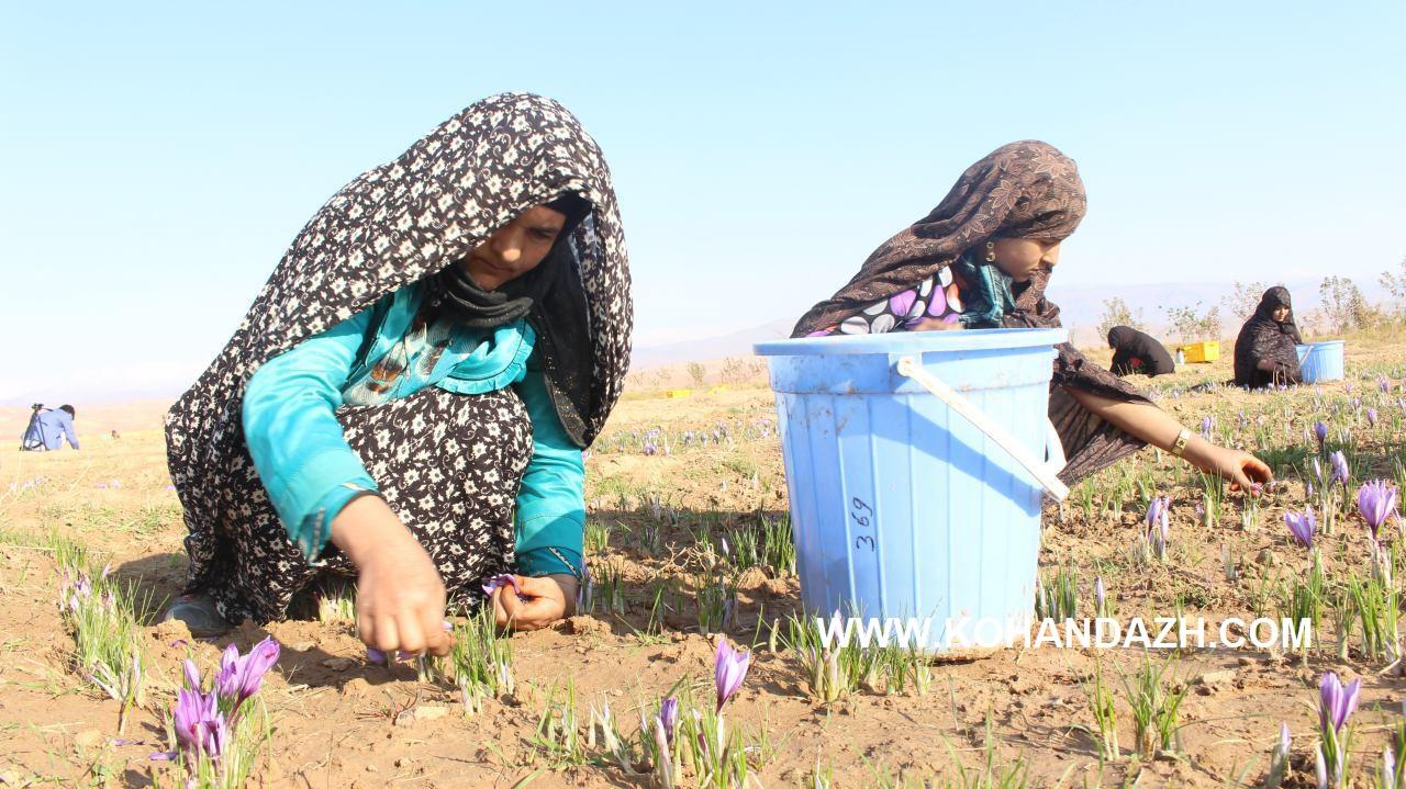 زنان کارگر در کِشتزارهای زعفران